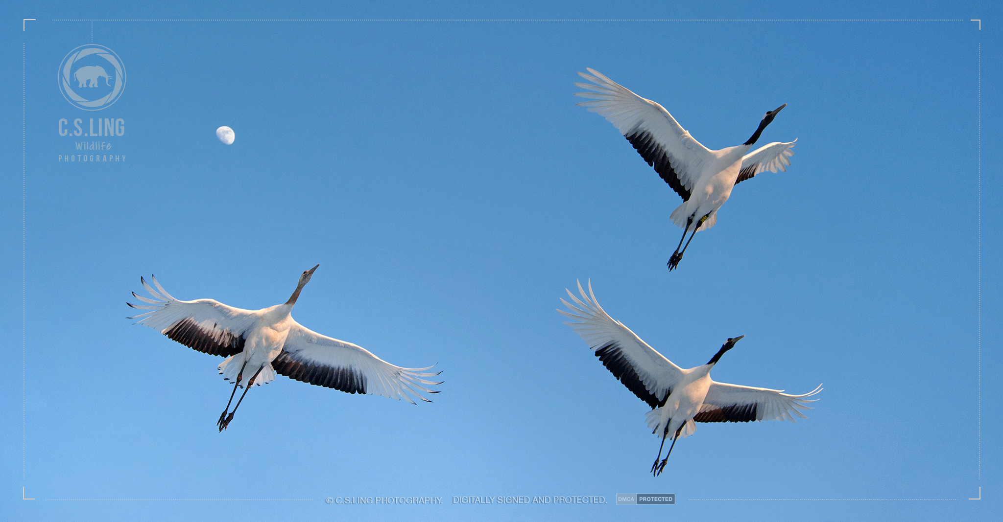Red-crowned cranes flying overhead (Moon in background)