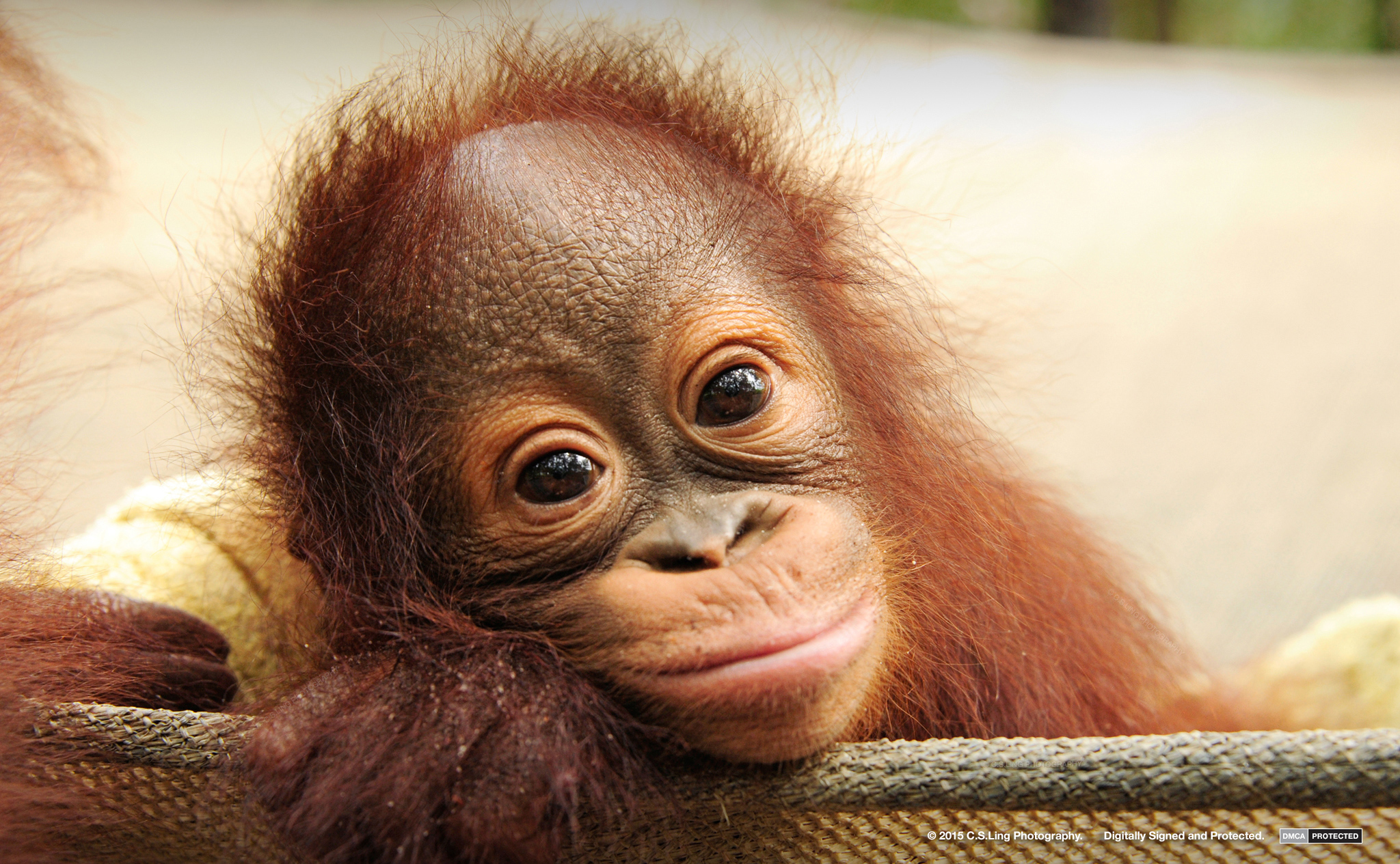 Orangutan Orphans | Wildlife Conservation Photographer C.S.Ling