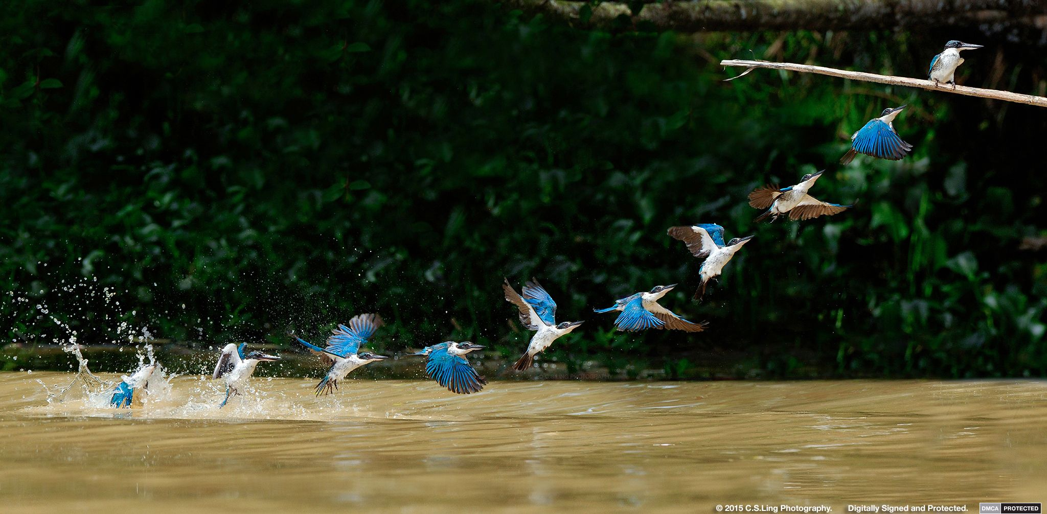 Kingfisher flight sequence shot by C.S.Ling Photography