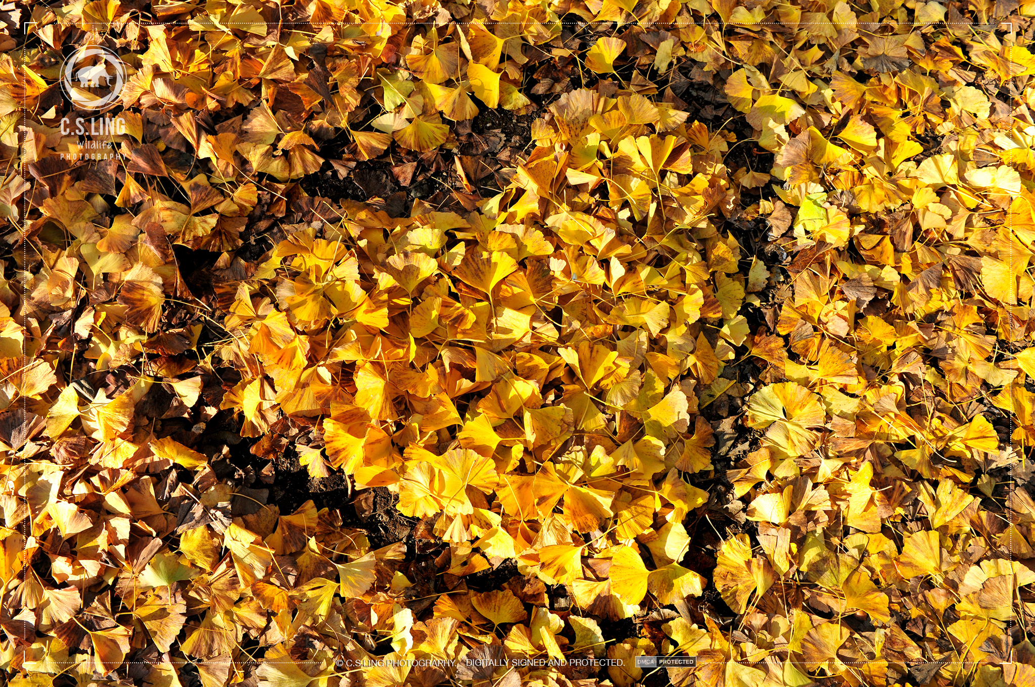 Photo: Fall In Love Gingko Leaves Autumn | Nature Photography