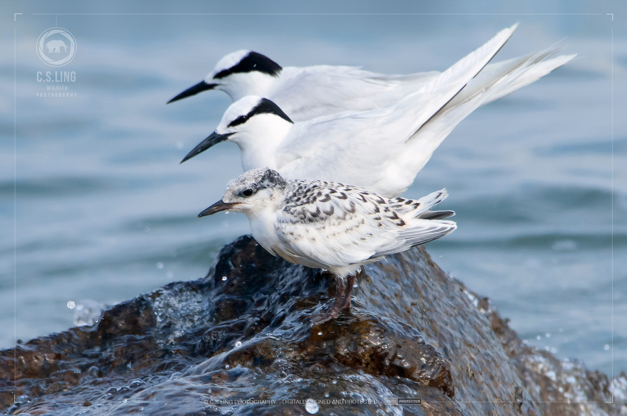 Black-naped Terns Family   Wildlife Photography in Asia