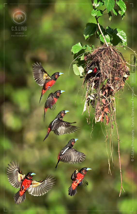 Back-and-red Broadbill nest flight | Top Wildlife Photographer