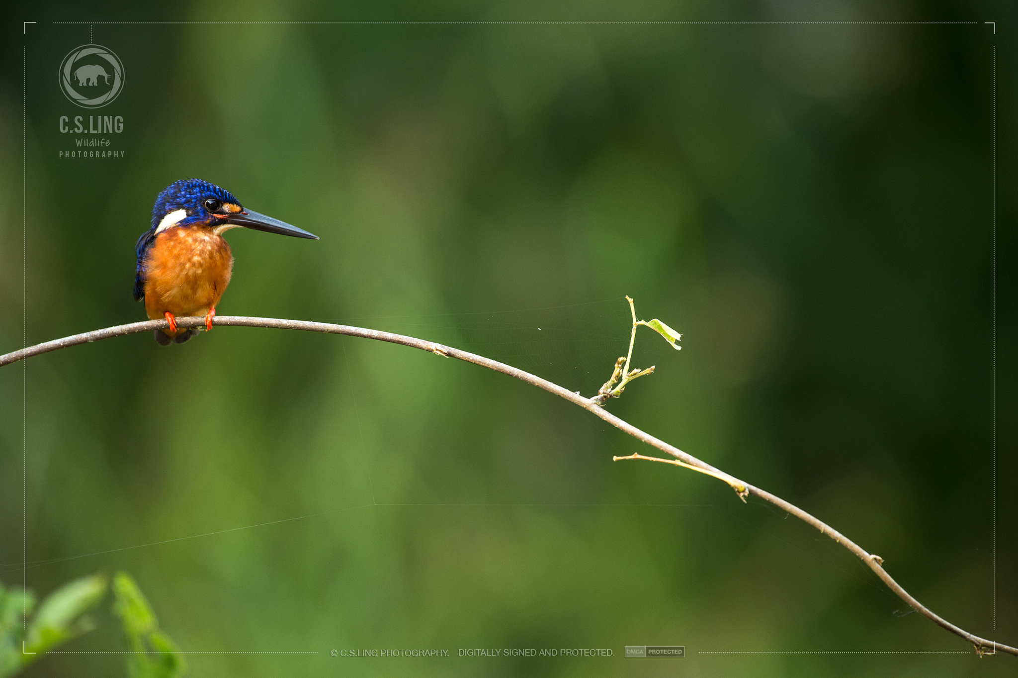 Blue-eared Kingfisher | Borneo Wildlife Photos by C.S.Ling