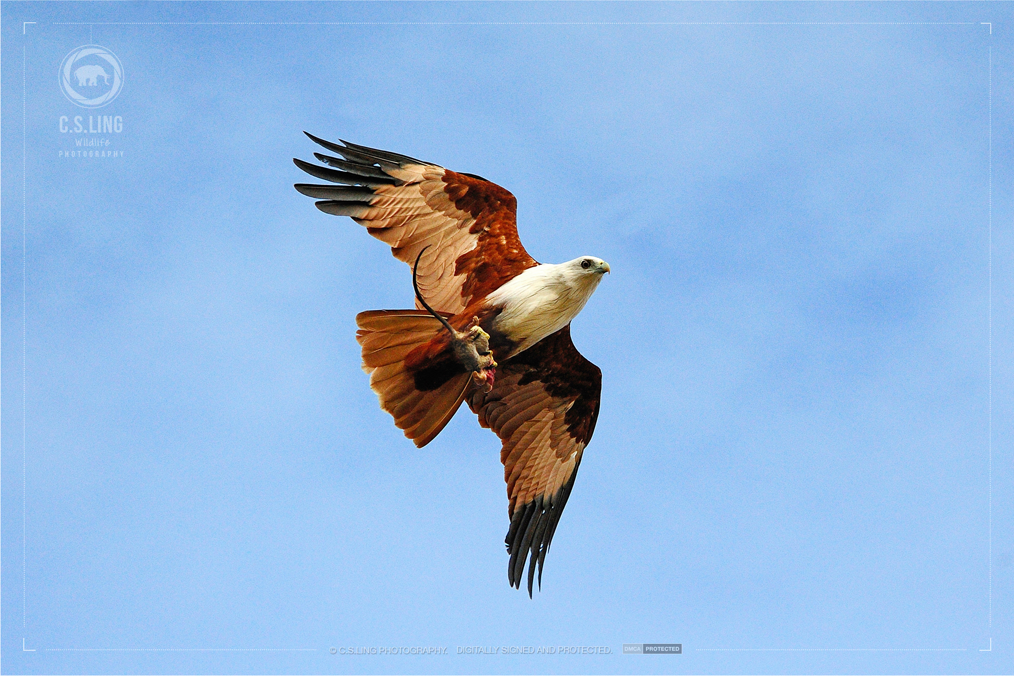 Brahminy kite with prey | Amazing Wildlife Photos