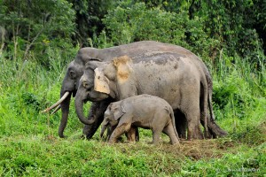 Borneo Pygmy Elephant Mother and Baby | Borneo Wildlife Photos