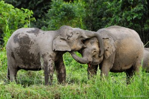 Borneo Pygmy Elephant greeting | Amazing Wildlife Photos