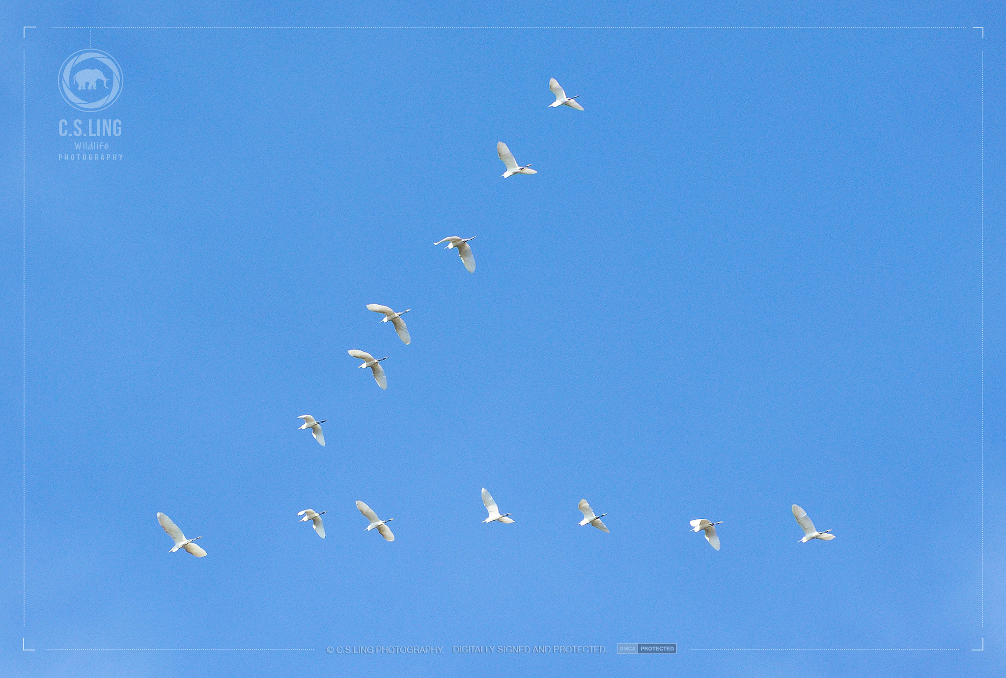 Intermediate Egrets flight V-formation | Birds Photography