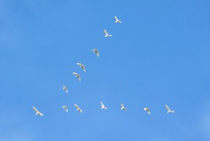 Intermediate Egrets flight V-formation | Amazing Bird Photos