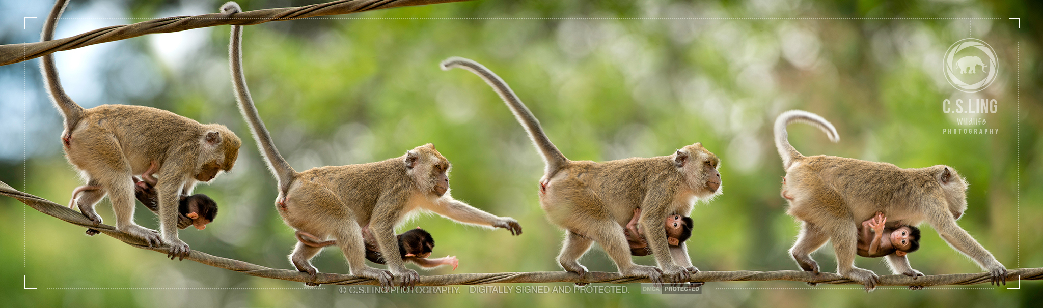 Long-tailed Macaque Mother and Child | Wildlife of Borneo