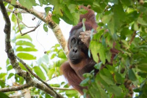 Orangutan hiding in trees | Best of Borneo Wildlife Photos