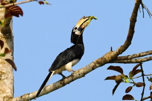 Oriental Pied Hornbill with prey | Top Wildlife Photographer Asia