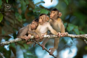 Pig-tailed Macaque Baby | Top Wildlife Photographer Asia