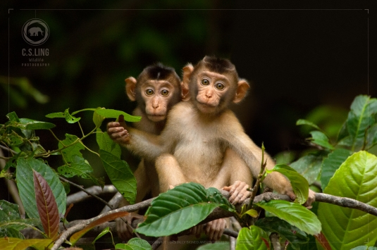 Pig-tailed Macaque Young Siblings | Cute Animal Photos | Wildlife of Borneo