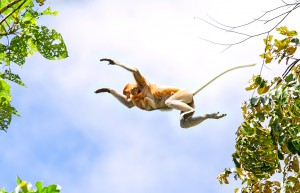Proboscis Monkey Mother and child jump from tree to tree