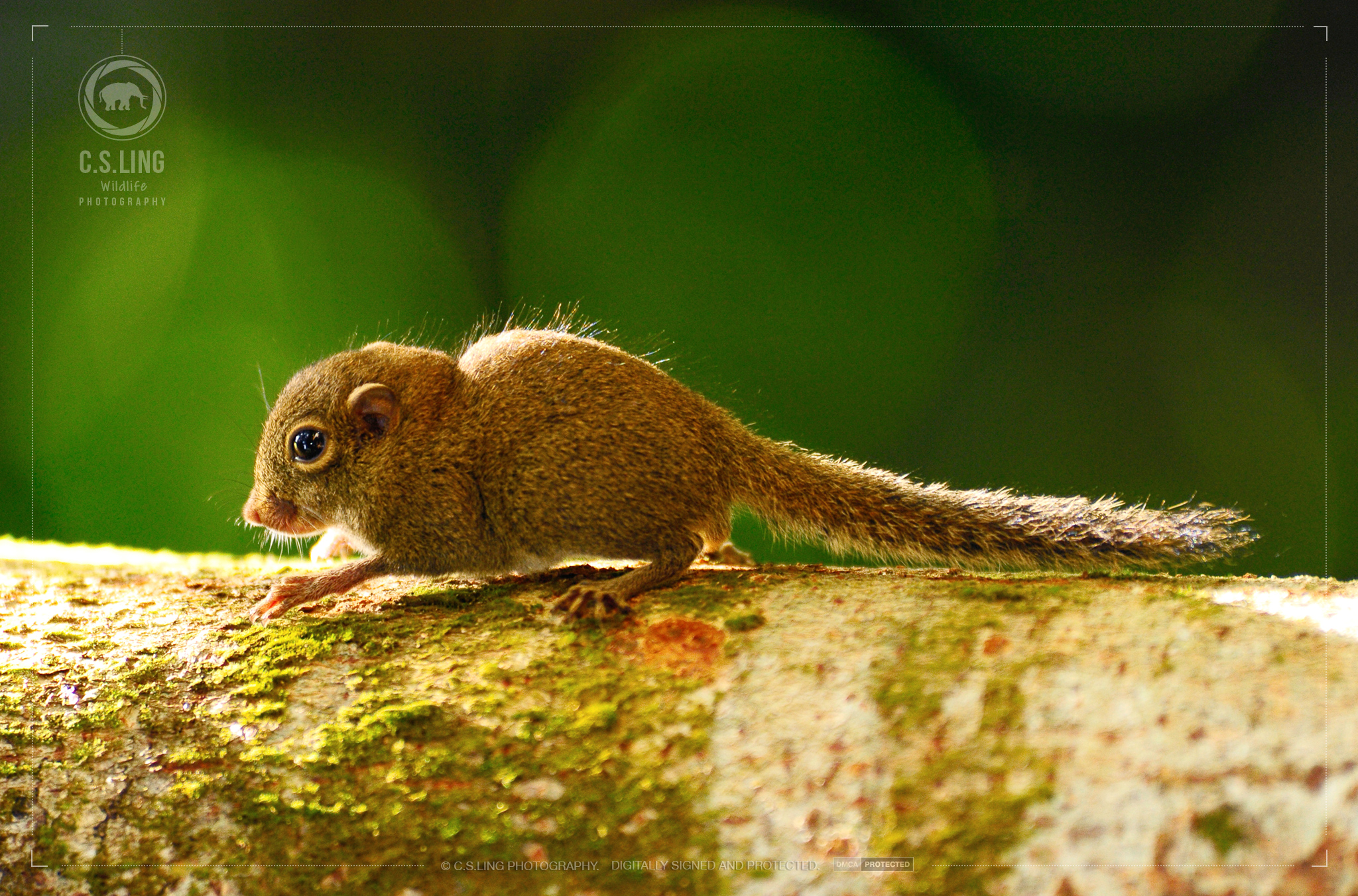Plain Pygmy Squirrel | Borneo Wildlife Photo Tours