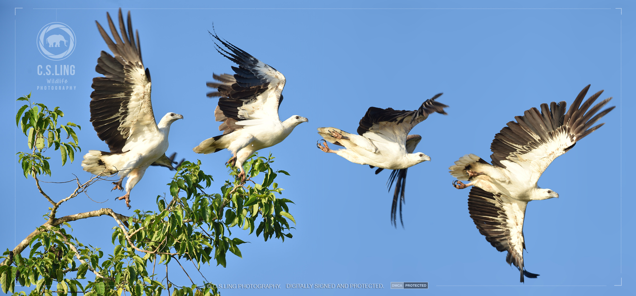 White-bellied Sea Eagle Flight sequence | Amazing Wildlife Photos