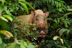 Wild Boar in Rain Forest | Wildlife of Borneo