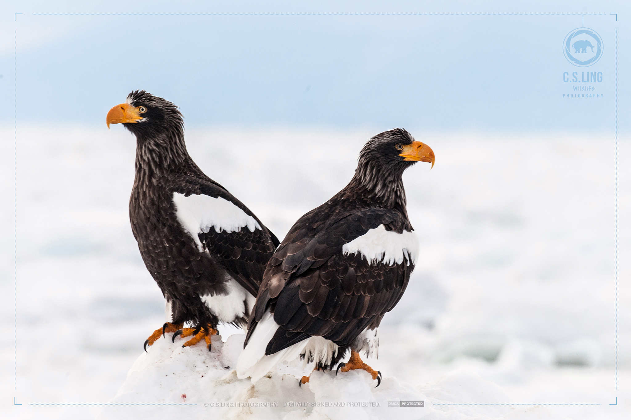 Steller's Sea Eagles in Japan | Wildlife Photography
