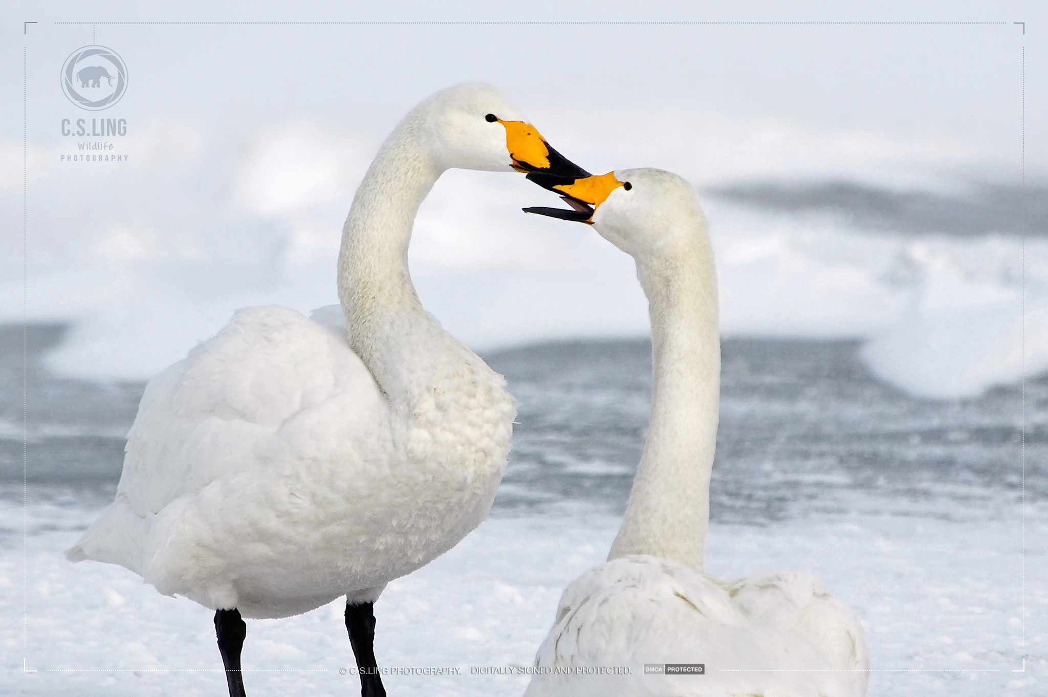 Whooper Swans kiss   Japan Wildlife Photography