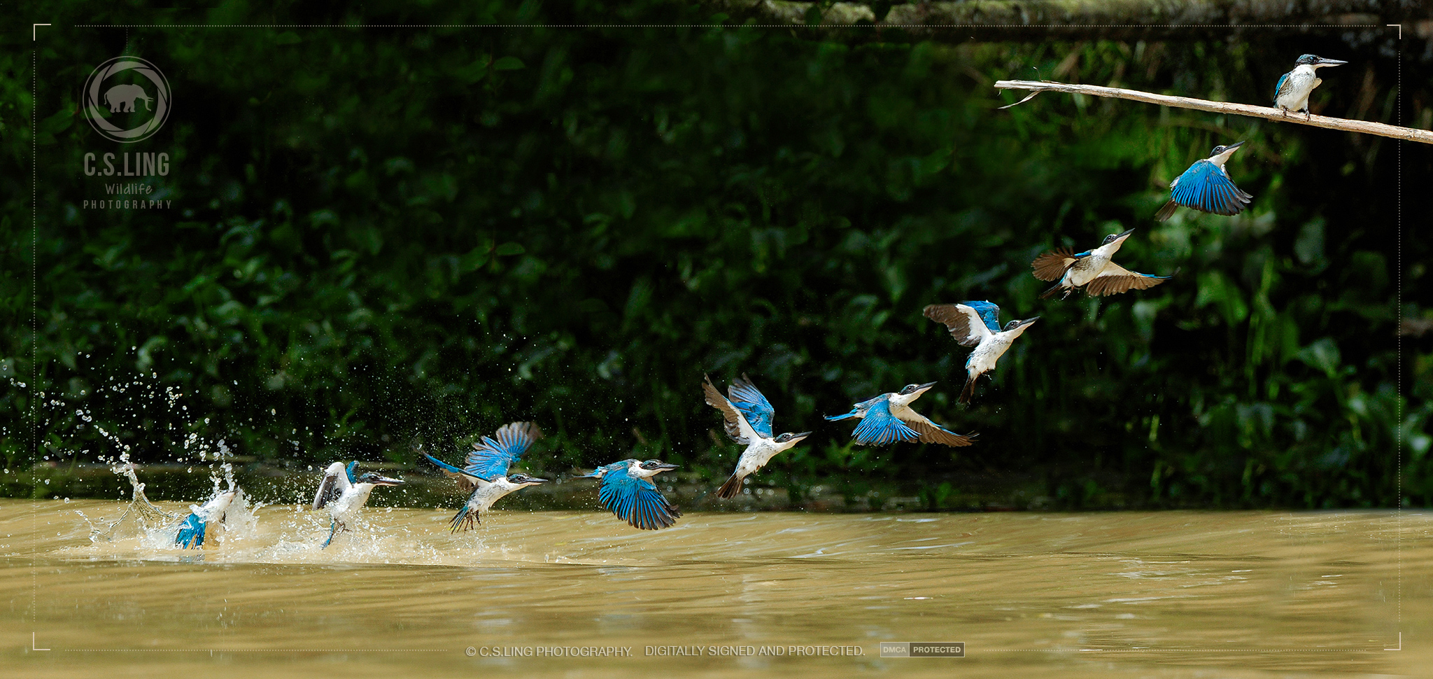 Collared Kingfisher Flight sequence | Top Wildlife Photographer