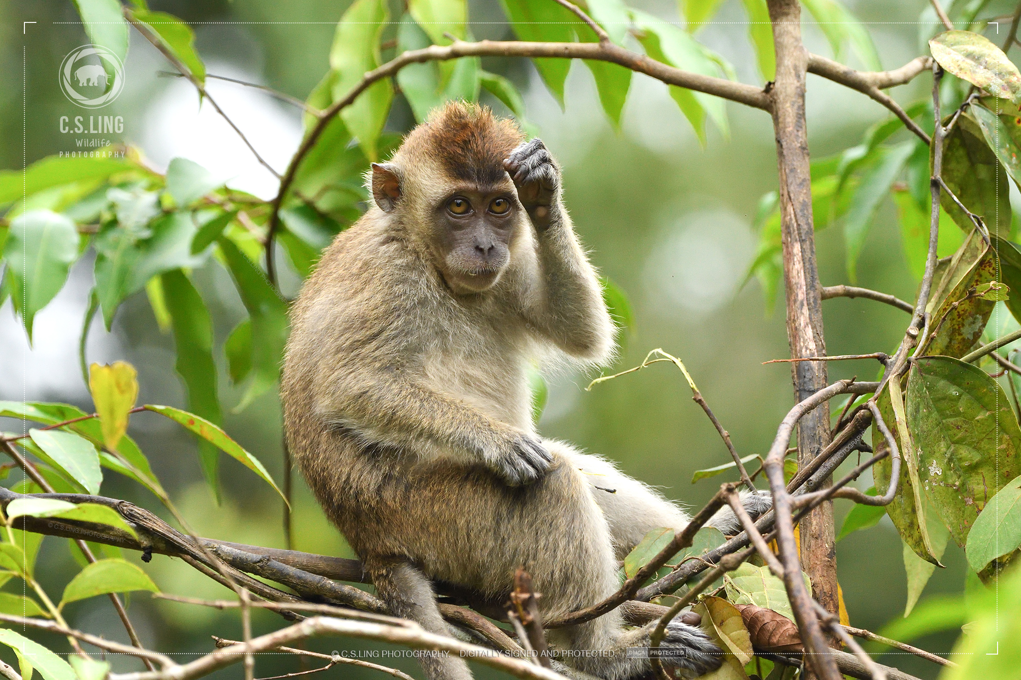 Nikon D500 Photos: Long-tailed Macaque Wildlife by C.S.Ling