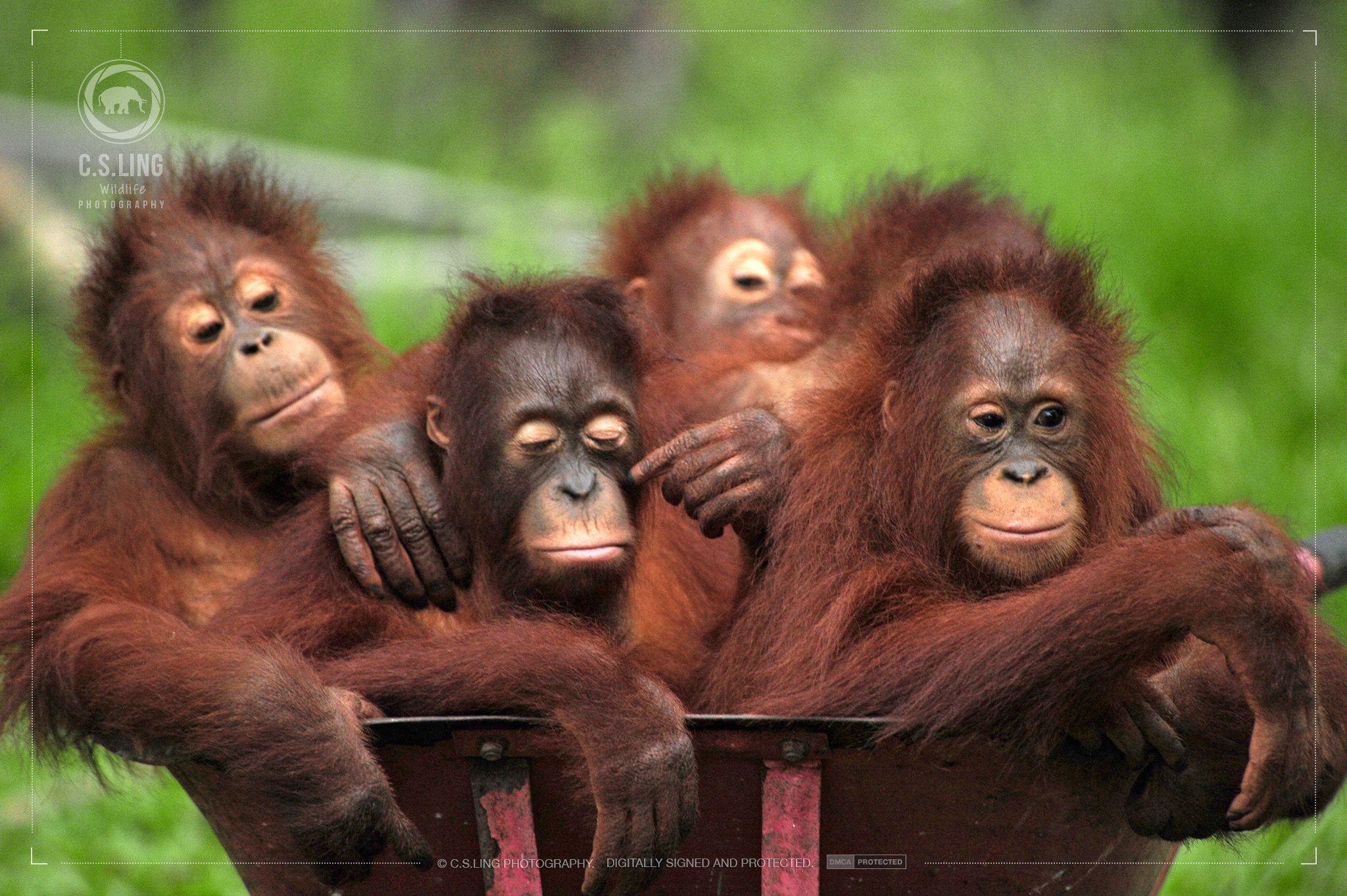 Orangutans in Wheelbarrow Forest School | Wildlife Conservation Photographer C.S.Ling