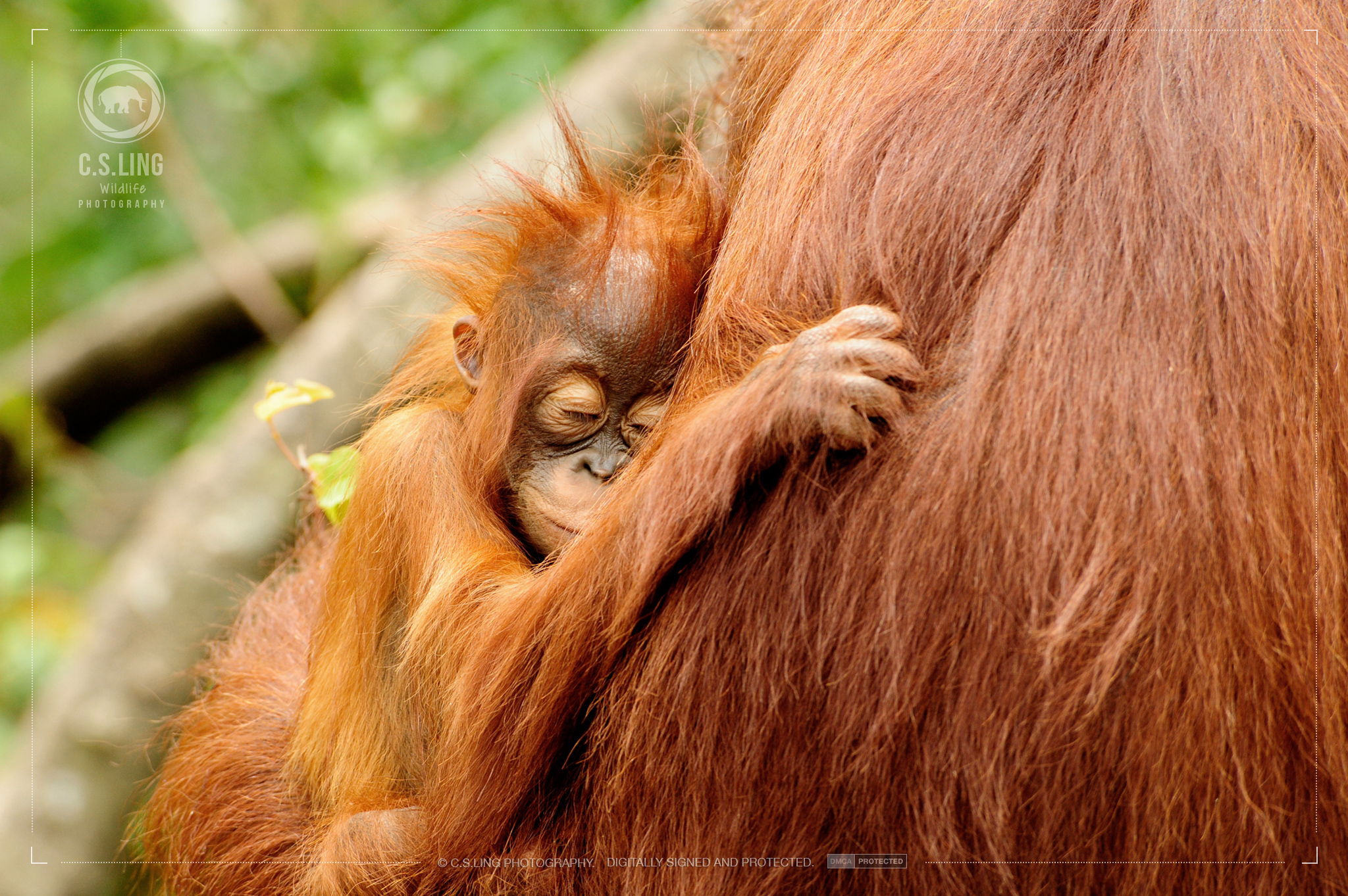 Endangered Orangutans Mother & Child | Best Wildlife Photos by C.S.Ling