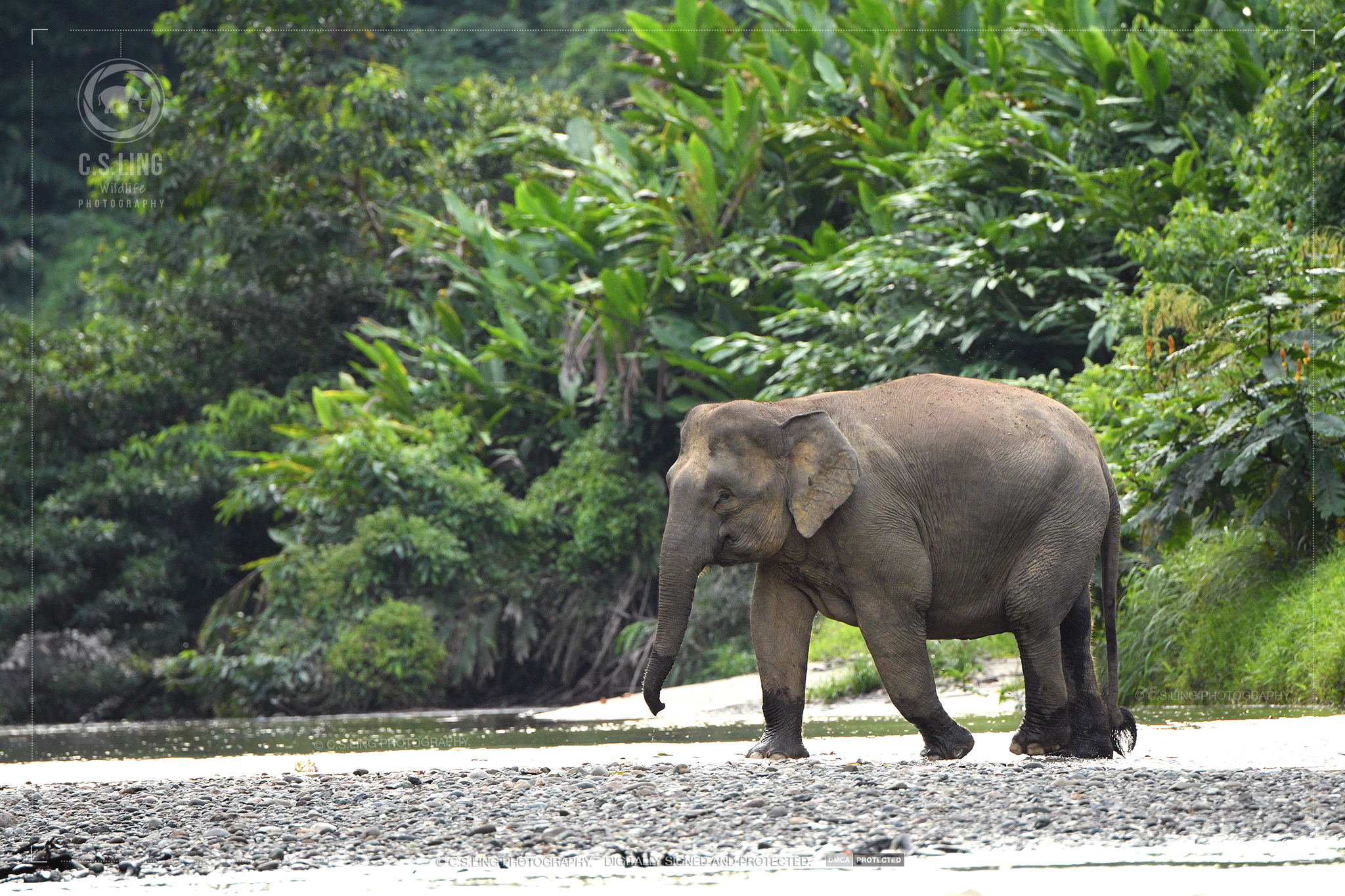 Nikon D500 Borneo Pygmy Elephant Herd Encounter by C.S.Ling
