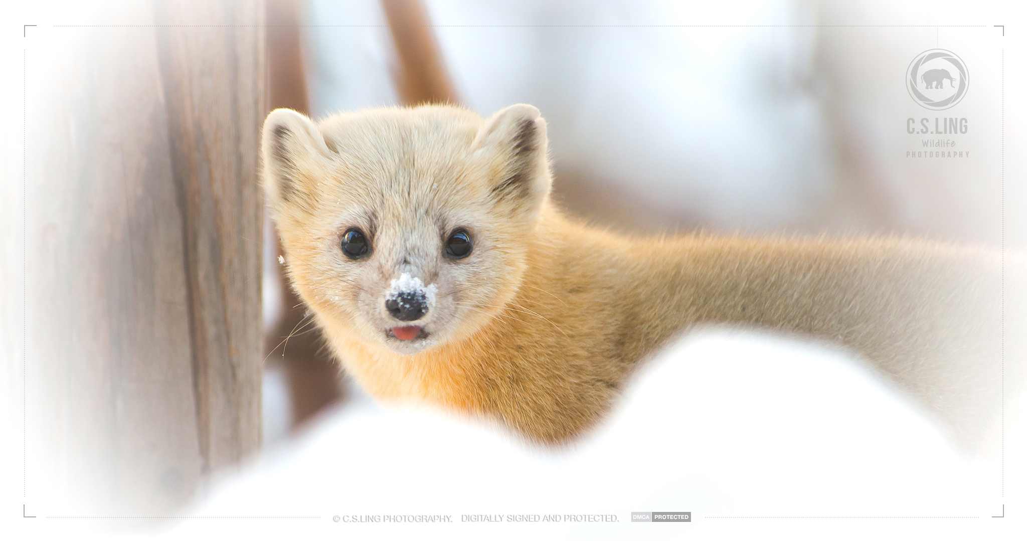 Japanese Marten Snow on nose   Wildlife Photographer in Asia - C.S.Ling