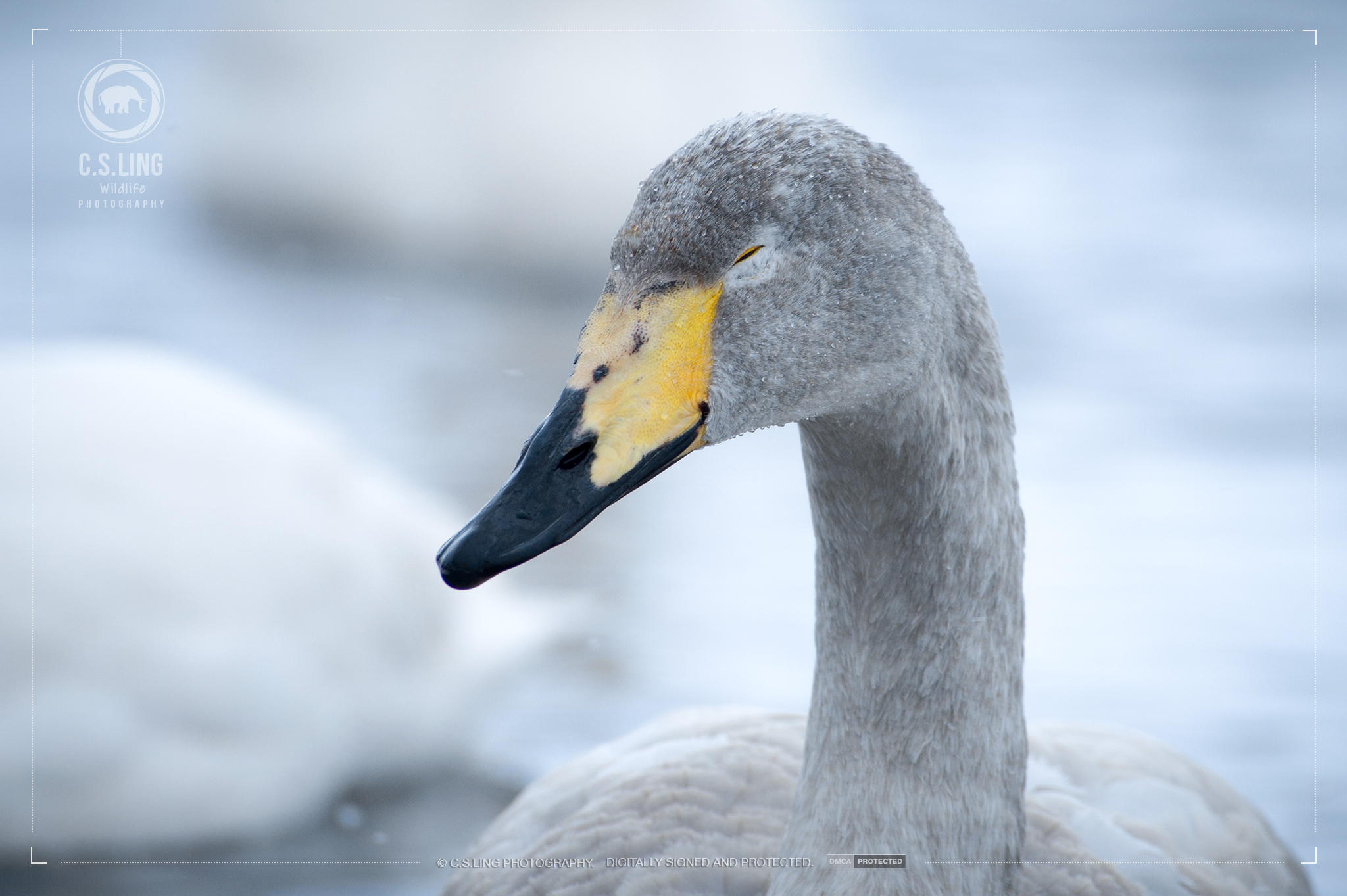 Whooper Swan Juvenile Close-up in Winter   Japan Wildlife Photography
