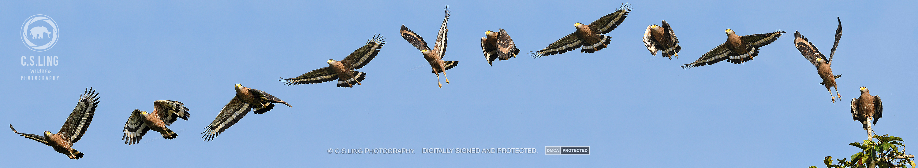 Nikon D500 10FPS Eagle Flight by C.S.Ling | Best Wildlife Photos