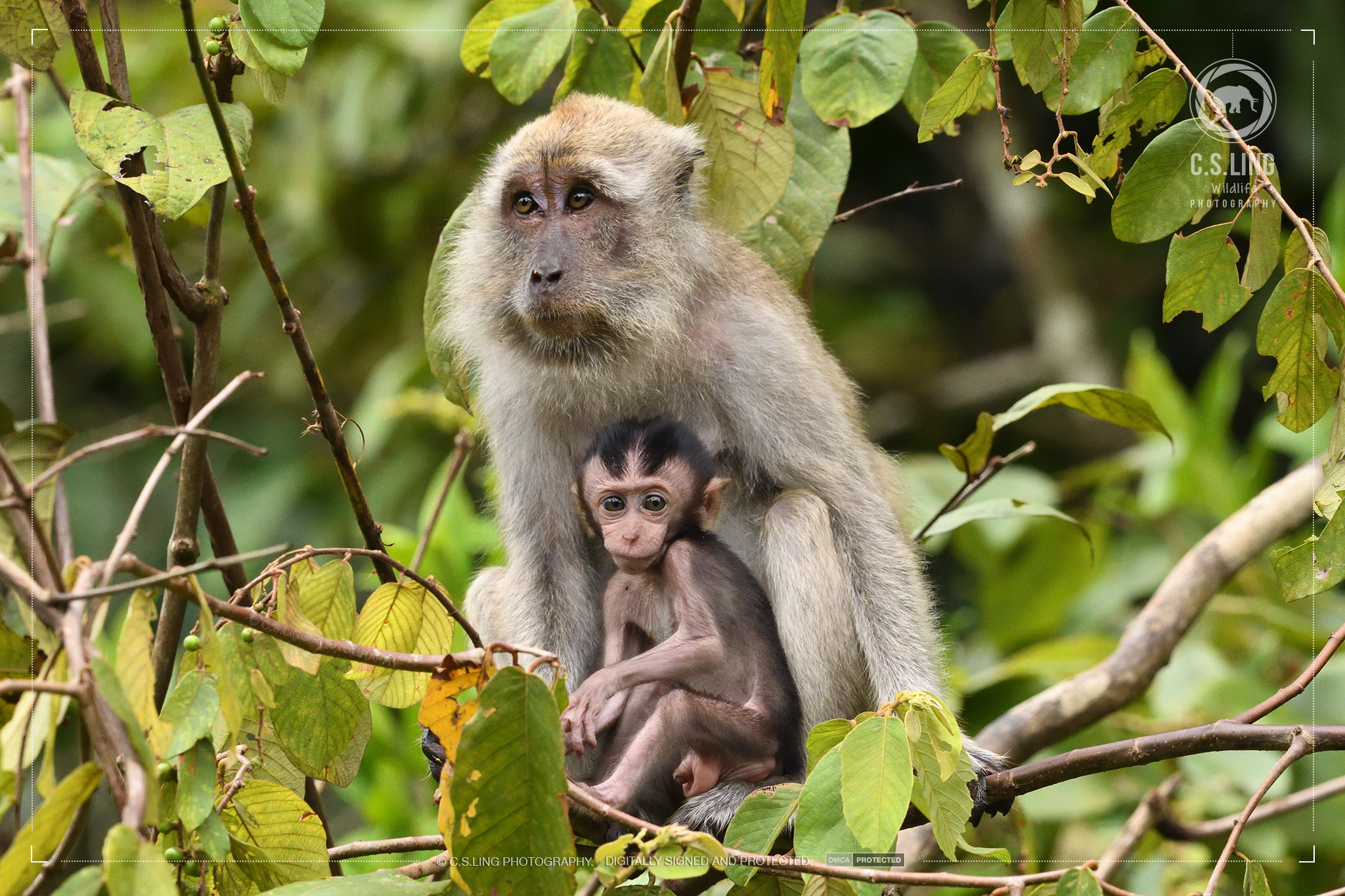 Long-tailed Macaque Mother Baby | Best Wildlife Photographer