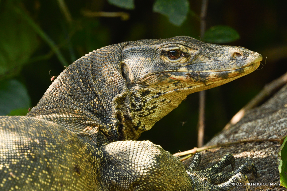 Monitor Lizard bitten by mosquitoes | Best Wildlife Photos by C.S.Ling