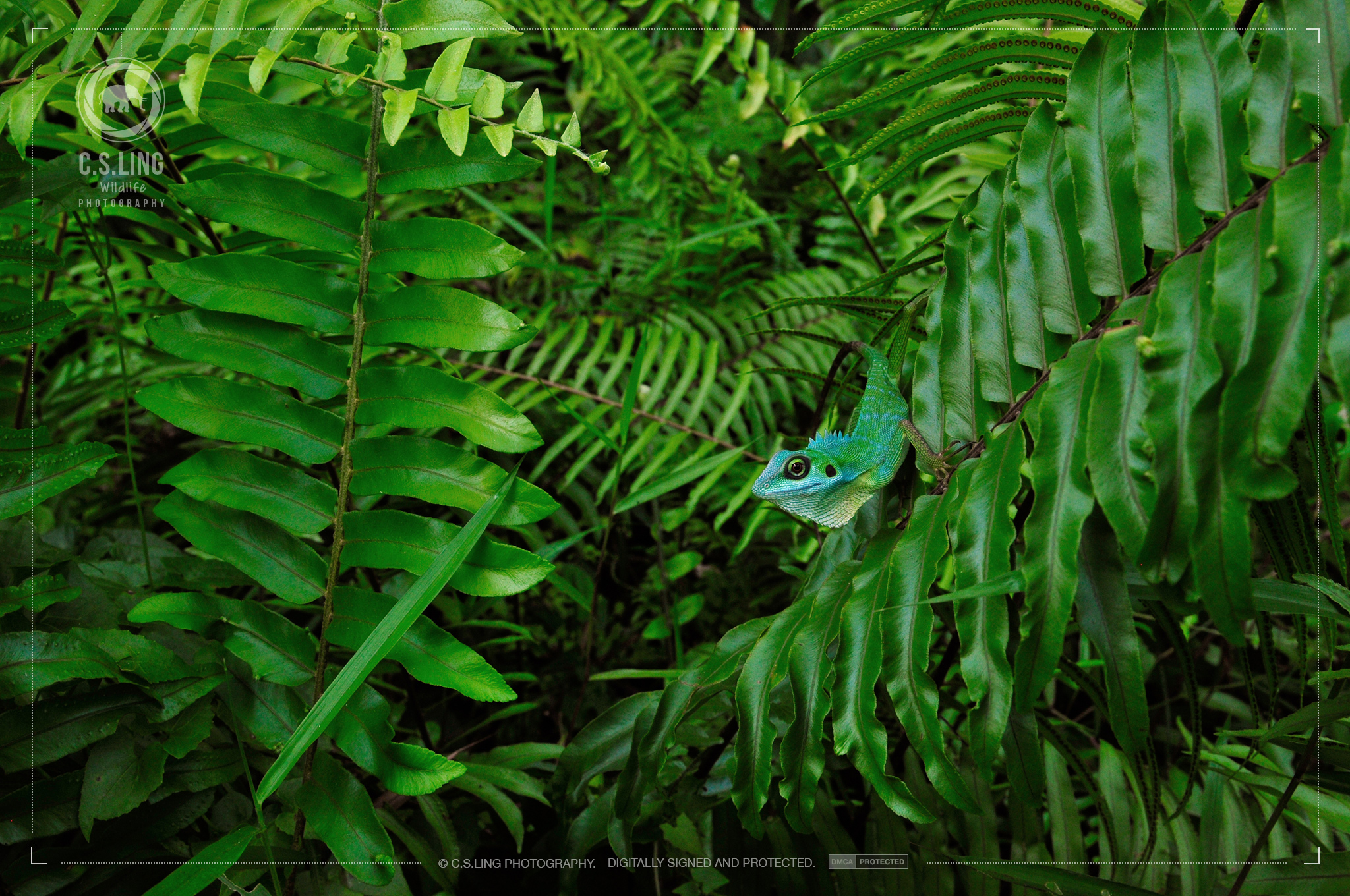 Green-crested Lizard In camouflage | Singapore Wildlife Photographer C.S.Ling