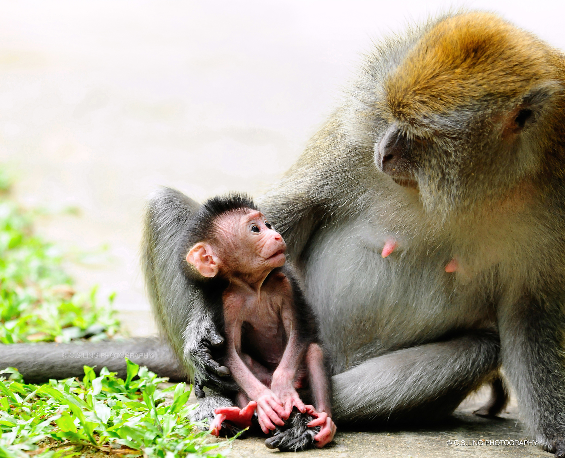 Long-tailed Macaque mother child bonding | Singapore Wildlife Photographer