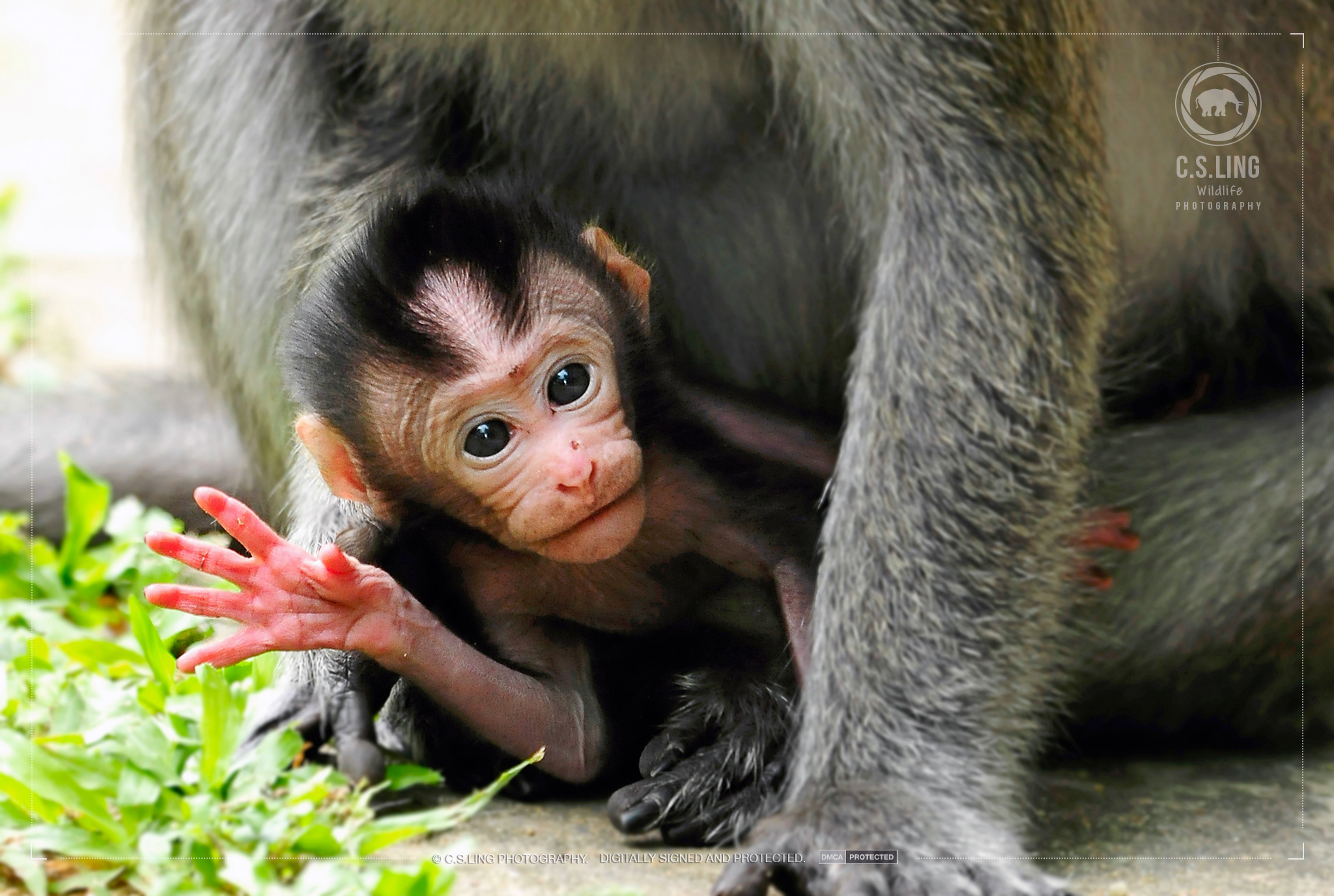 Long-tailed Macaque Baby says Hi! | Cute Baby Animal Photos