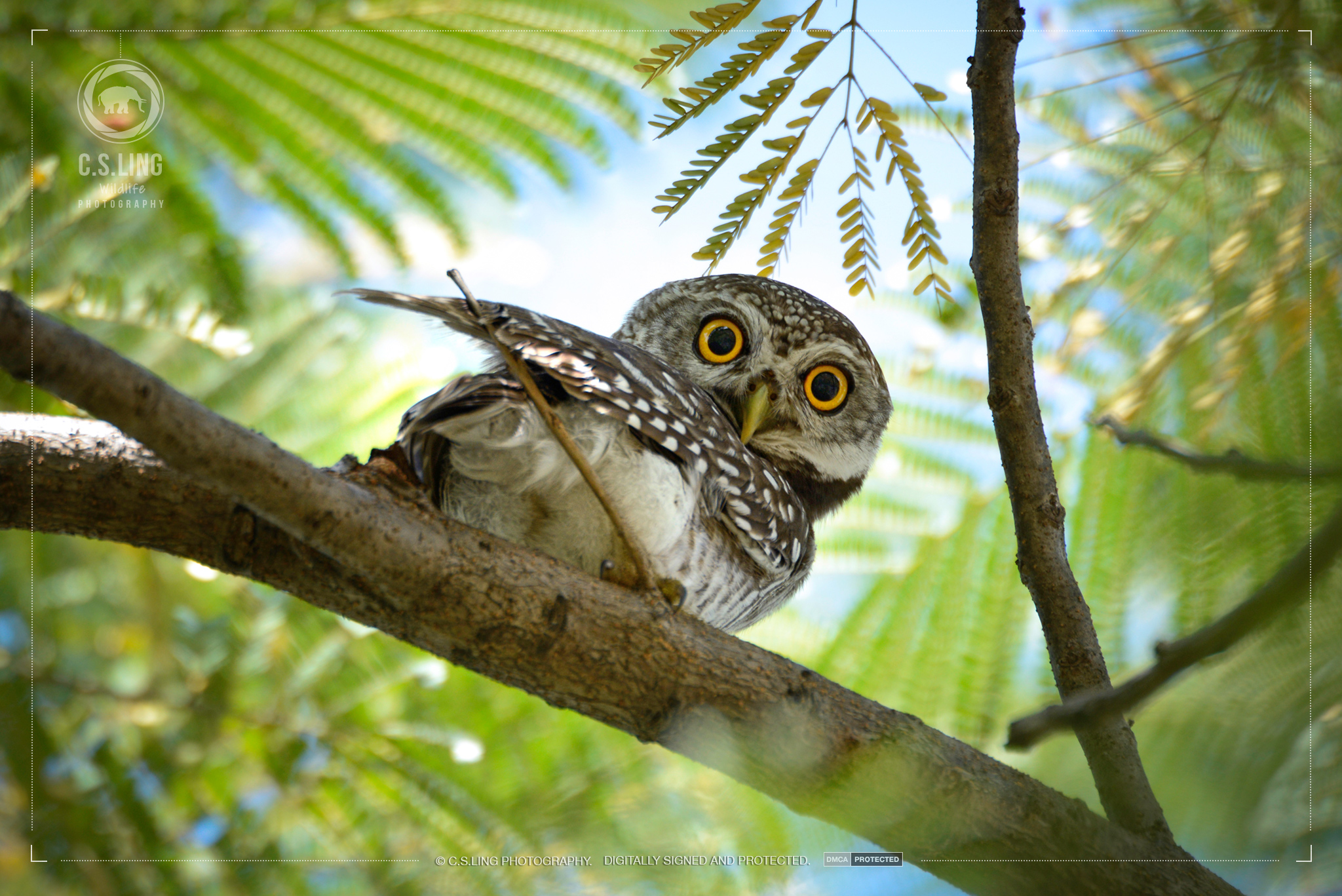 Spotted Owlet Thailand | Wildlife Photographer in Asia C.S.Ling