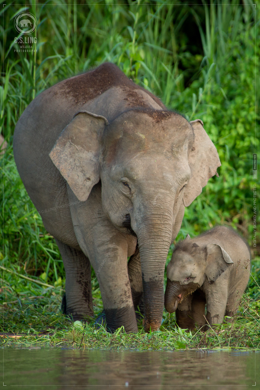 Borneo Pygmy Elephants Mother and calf by C.S.Ling