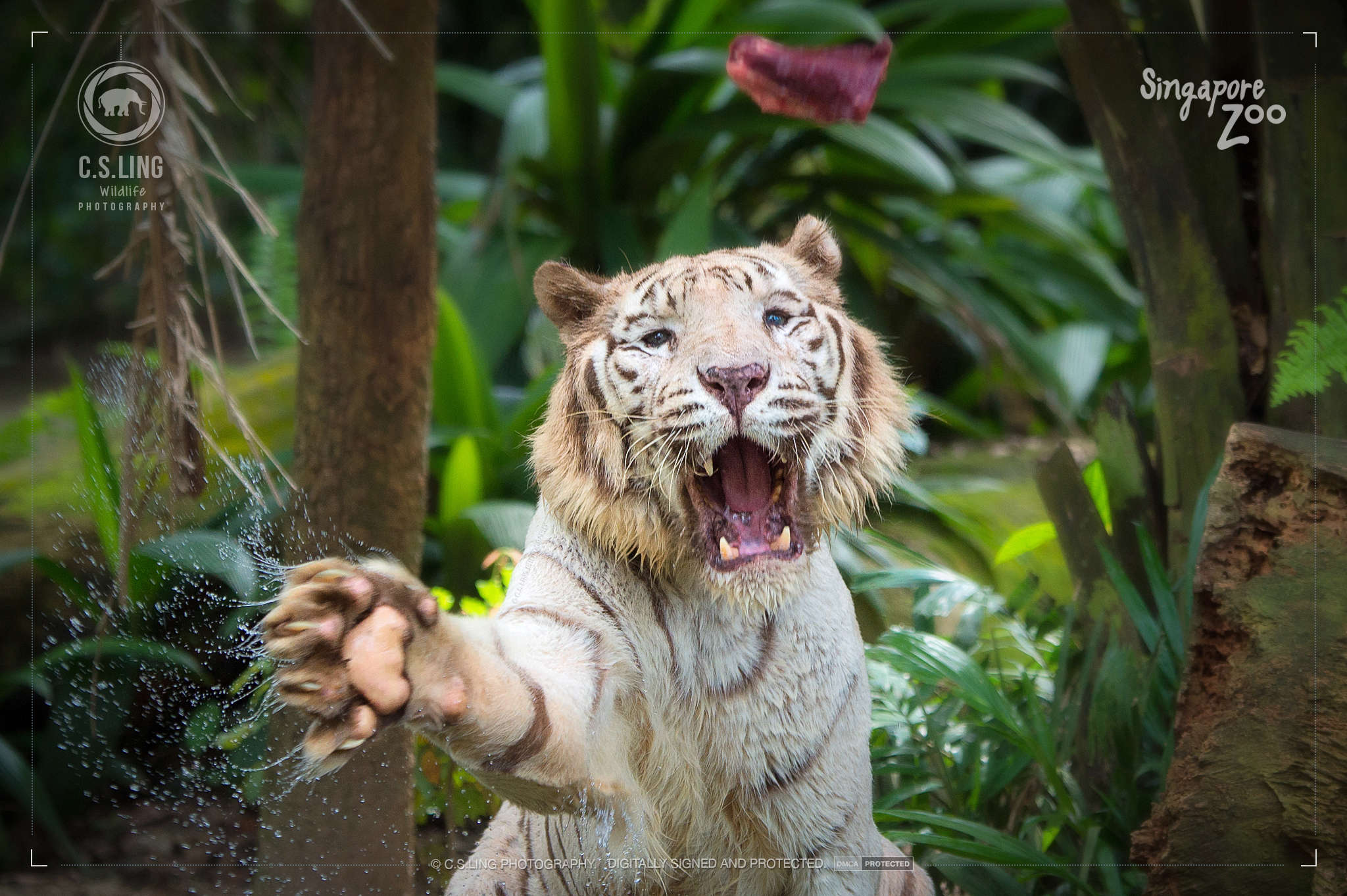 Singapore Zoo White Tiger by C.S.Ling