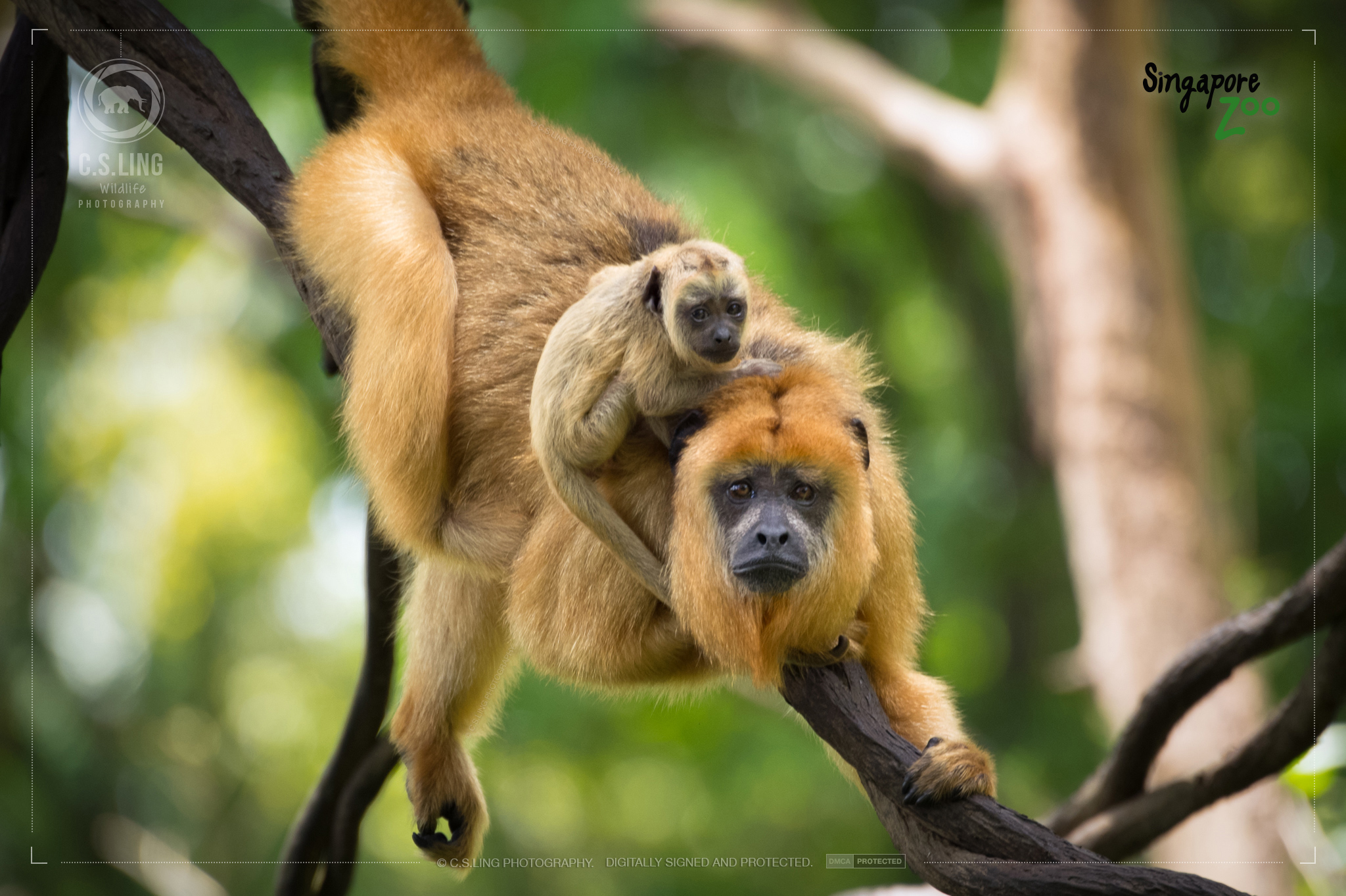 Black Howler Monkey Mother and Child by C.S.Ling
