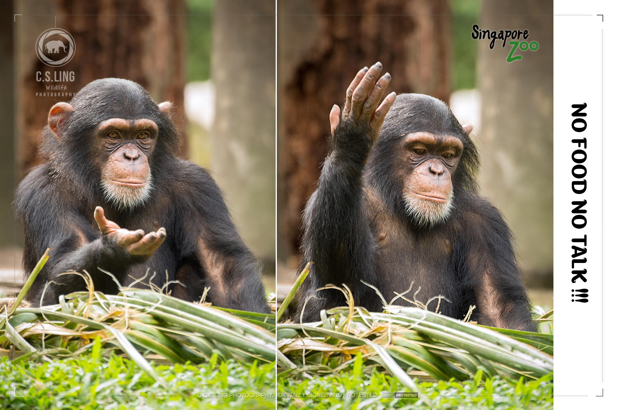 Chimpanzee Funny Antics at Singapore Zoo by C.S.Ling
