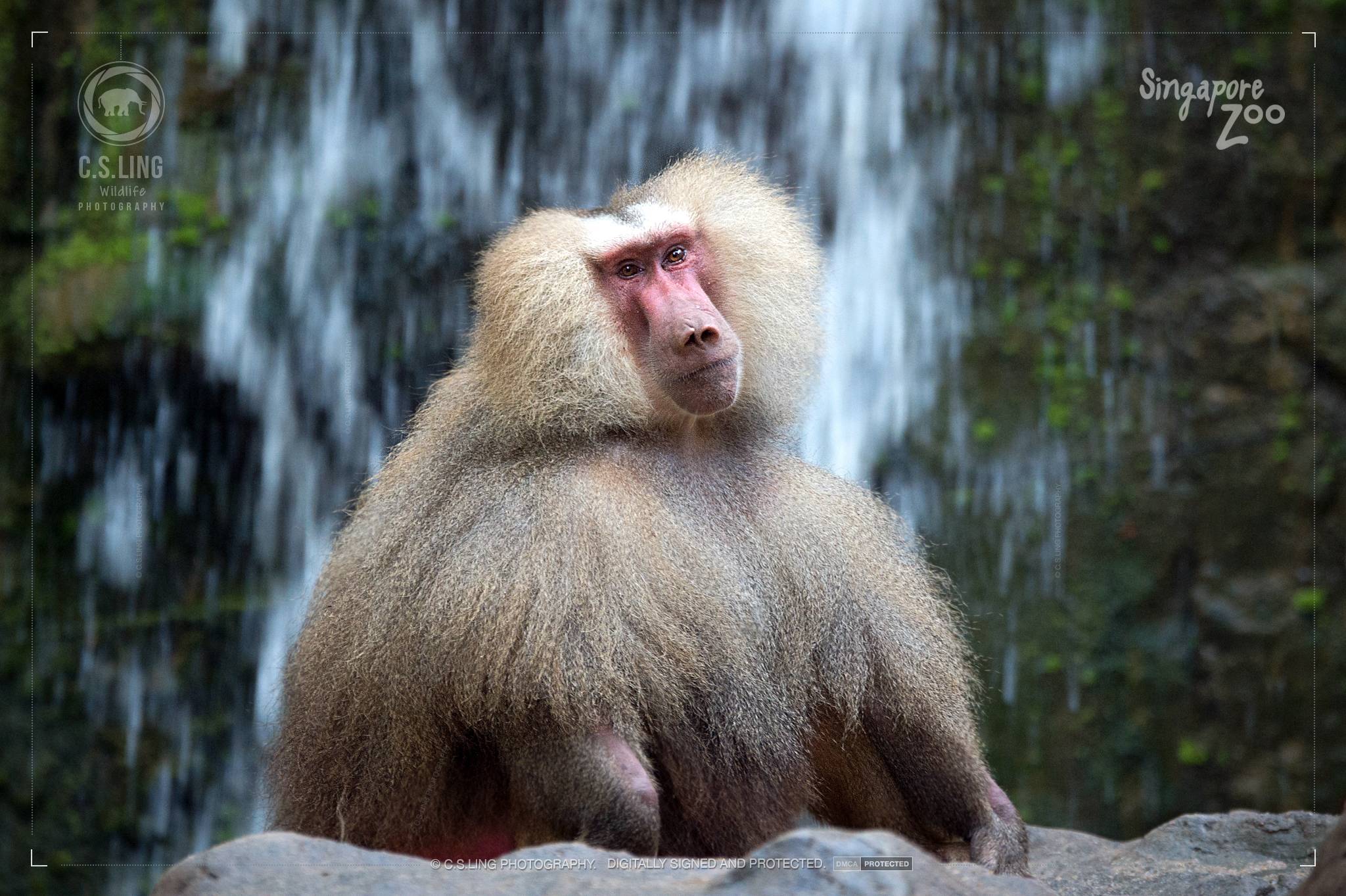 Singapore Zoo Hamadryas Baboon Alpha Male by C.S.Ling