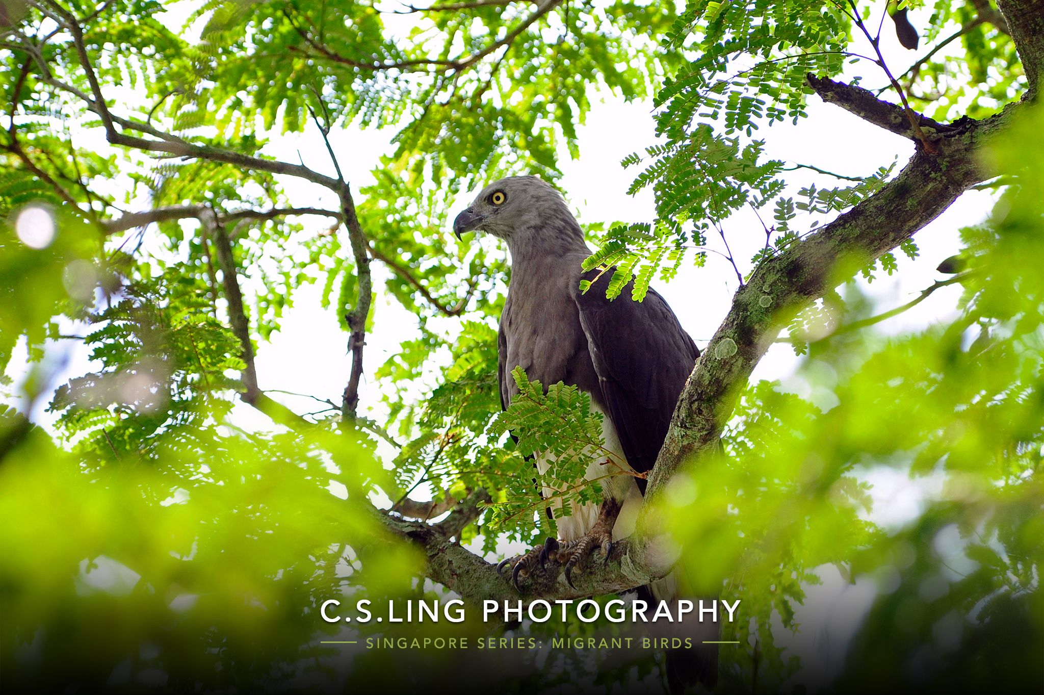 Grey-headed Fish Eagle | Birds of Singapore Wildlife Photos by C.S.Ling