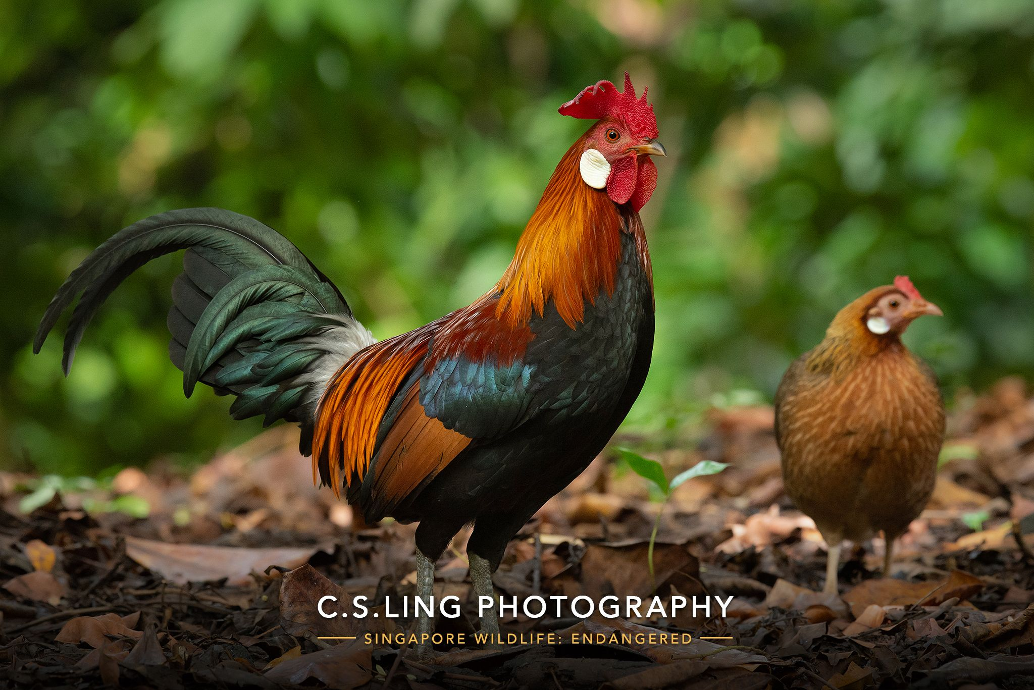 Endangered Red JungleFowl in Singapore | Wildlife Photographer in Asia, C.S.Ling